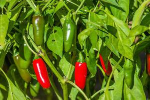 Klassiker ! Jalapeno Chili Jalapenosamen fruchtig saftig mittelscharf 25 Samen