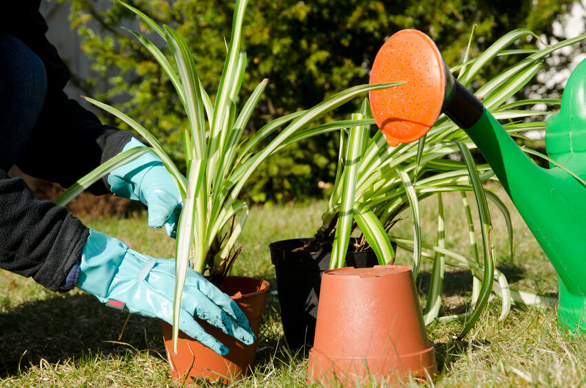 how to take care of a spider plant ebay. Black Bedroom Furniture Sets. Home Design Ideas