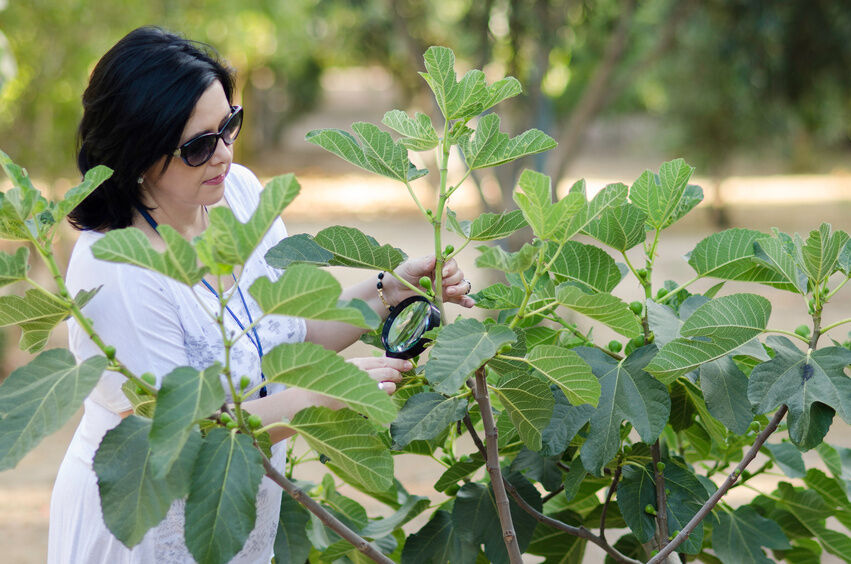 How to Care for Your Fig Tree