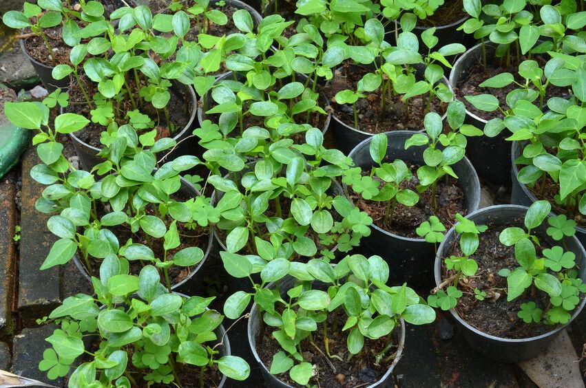Папайя из семян выращивание 21