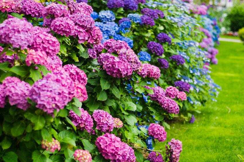 How to grow a hydrangea plant ebay - Caring hydrangea garden ...