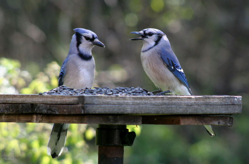 How To Attract Blue Jays To Your Backyard | eBay