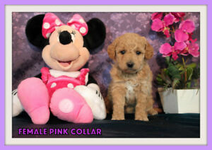 Mini-GoldenDoodle F1b Puppies