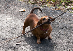Older Miniature Dachshund Wanted