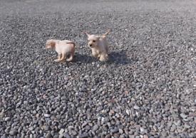 Miniature Schnauzer cross Cavalier King Charles Spaniel puppy