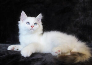 Friendly Ragdoll Female Kitten Is Available For A Good Home