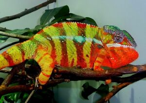 Panthers Chameleons mores localities