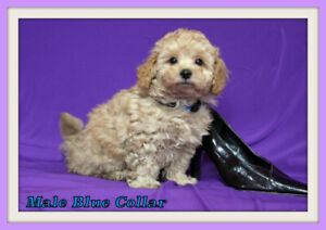 Toy Poodle Kijiji In Winnipeg Buy Sell Save With