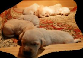 Full Bred Labrador Pups