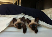 Siamese Kittens Seal and Chocolate point