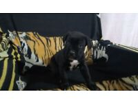 Cane Corso puppie