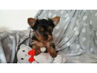 Mini yorkshire terrier pups for sale, very cute yorkie s