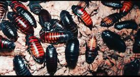 Hissing cockroaches plus viv
