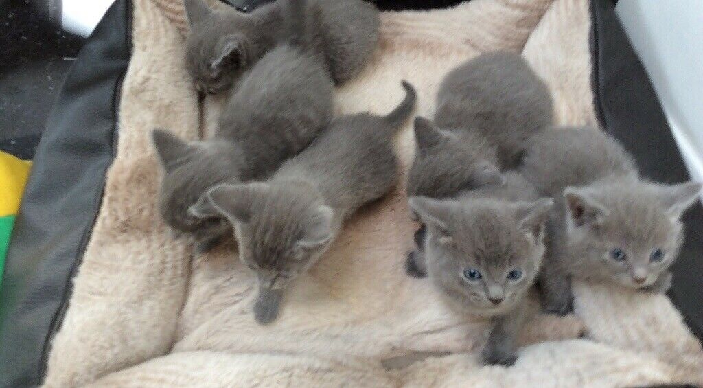 Blue Kittens For Sale : Cute russian blue kittens for sale in norwood london gumtree
