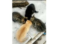 Light blonde ginger & Black tabby kittens need rehoming