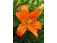 Lillium Asiatic Orange County lillies 100