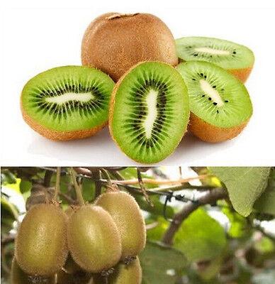 FD849 KIWI FRUIT Actinidia Vine Seeds Grow ...
