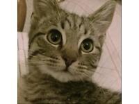 6 Month Male Kitten - Leo