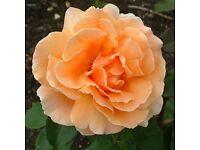 Rose Rosa 'Just Joey' Hybrid Tea in large pot £10 plant flower