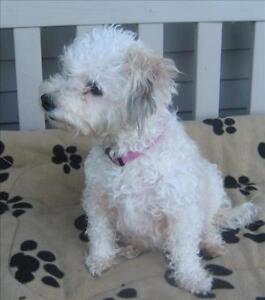 """Adult Female Dog - Bichon Frise-Poodle: """"Annie"""""""