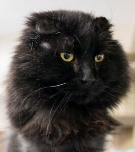 "Adult Male Cat - Domestic Long Hair: ""Caleb"""