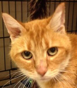 "Senior Female Cat - Domestic Short Hair-orange: ""Sugar Cookie"""