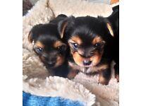 Yorkshire Terrier x York Biewer Tea cup puppies