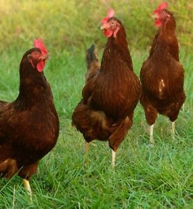 Free Rhode Island Red egg hens