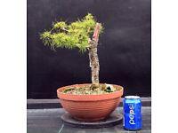 Quality Yamadori Scots pine Raw bonsai material