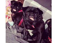 Black female pugs