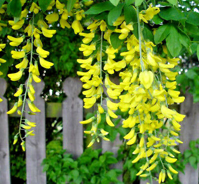 GOLDEN CHAIN TREE *62 SEEDS*HARDY*BEAUTIFUL CASCADING YELLOW FLOWERS, SMALL TREE