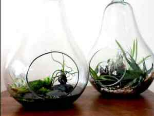Pear Shaped Hanging Glass Terrariums (7 Available) St. John's Newfoundland image 4