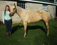 7 year old palomino mare for sale