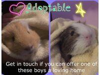 Guinea pigs for adoption