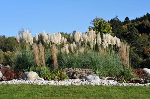 Japansegge, Pampasgras & Co - diese Gräser sind eine Zierde in jedem Garten