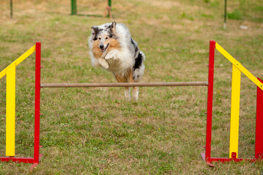 How to Use Your Agility Dog Training Equipment | eBay
