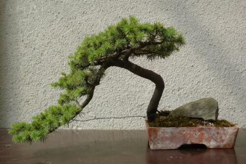 bonsai eiben zarte sch nheit erhalten mit regelm igem formschnitt ebay. Black Bedroom Furniture Sets. Home Design Ideas
