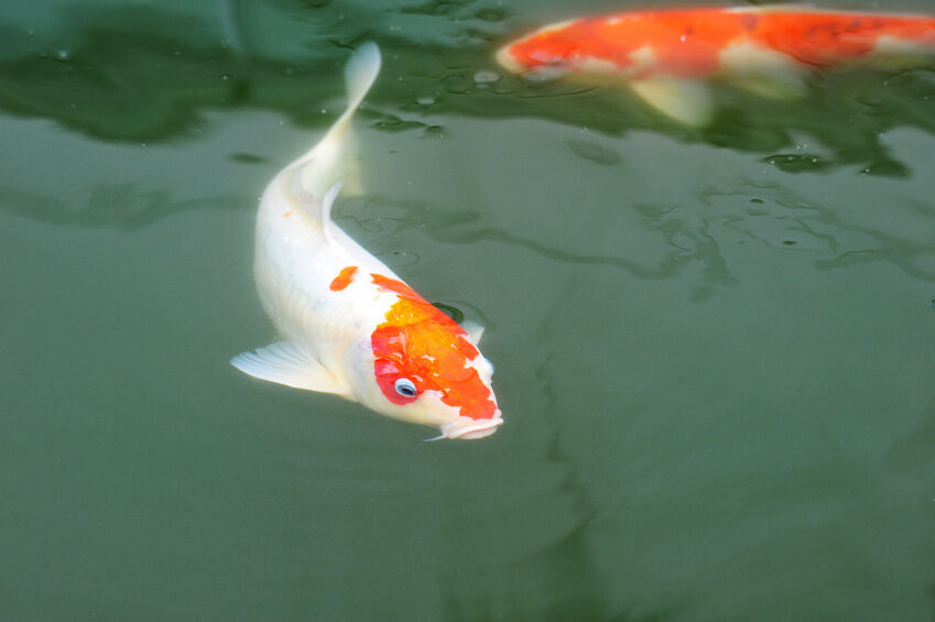 how to raise a koi fish ebay