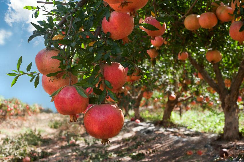 How to Grow a Pomegranate Tree | eBay