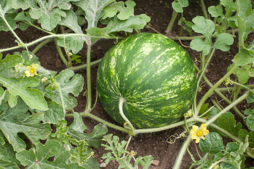 pictures of watermelon plants