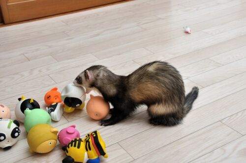 Spiel und Spaß für Frettchen: Tipps für den Kauf von Spielzeug für den Frettchenkäfig