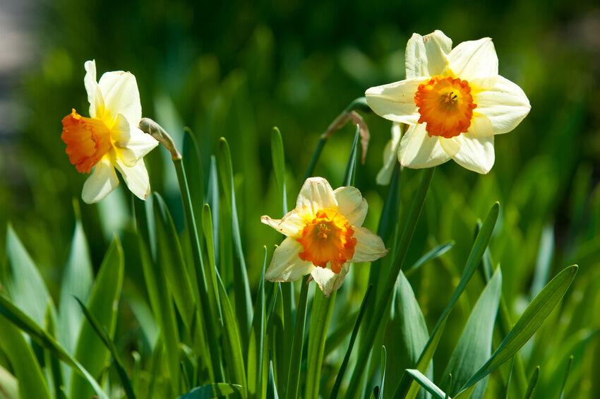 when can i plant my daffodil bulbs