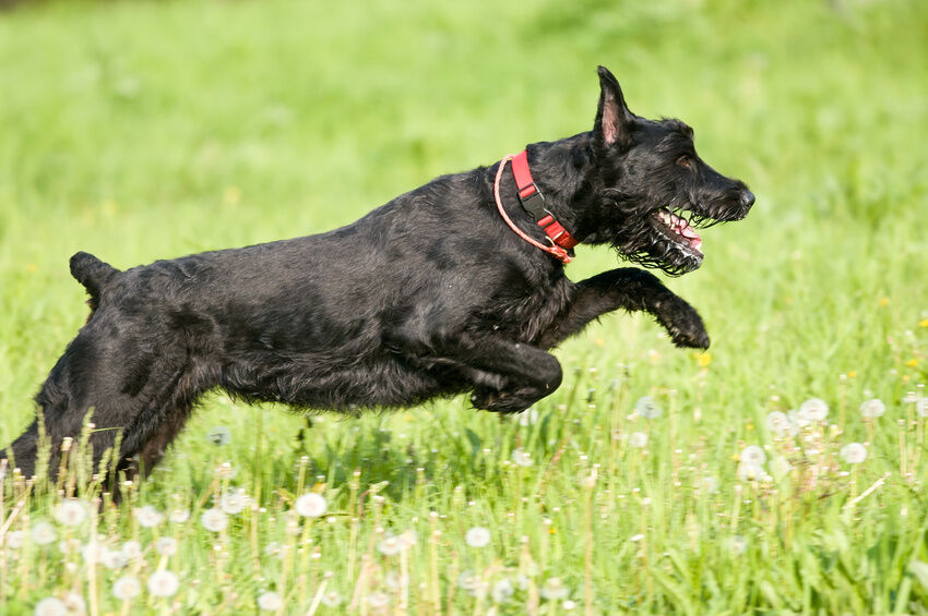 Muscular Dogs Top 10 Among the largest dog breeds