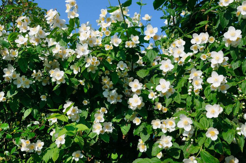 How do I take care of a jasmine plant?