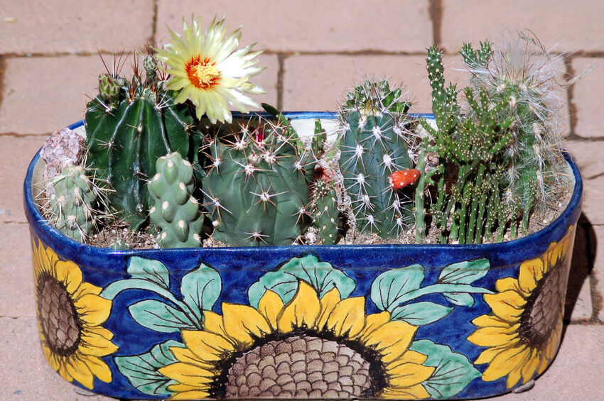 how to grow cacti on a small patio  ebay, Natural flower