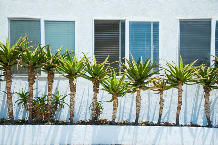 What are tips for yucca tree care?