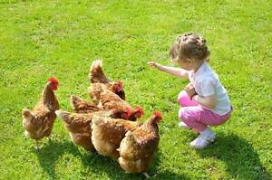 Chickens - WE ARE OPEN SUNDAY 4th December 10am to Midday! Yandina Maroochydore Area Preview