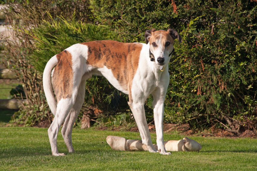 Your Guide to Buying Greyhound Collectibles