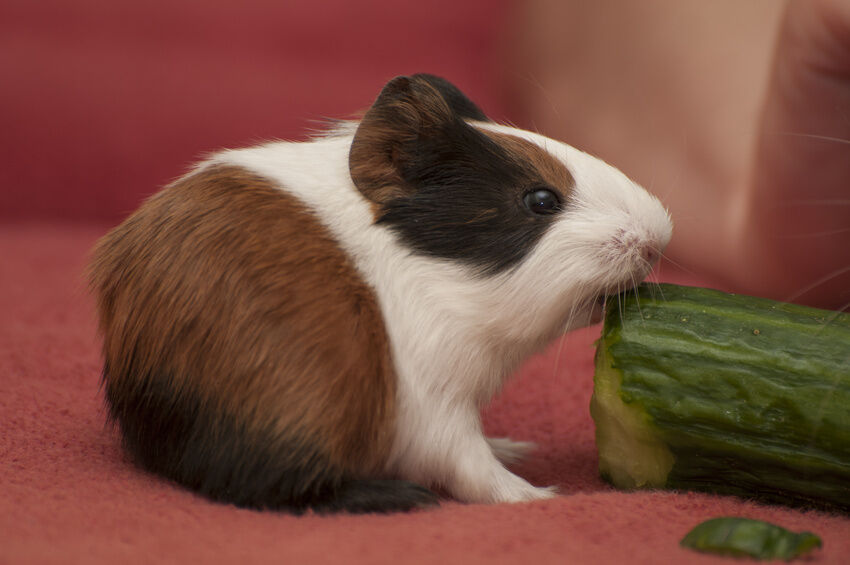 Supplies to Make your Guinea Pig Feel Comfortable