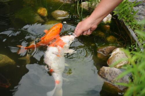 Die besten bedingungen f r die eigene koi z chtung im for Fische im gartenteich